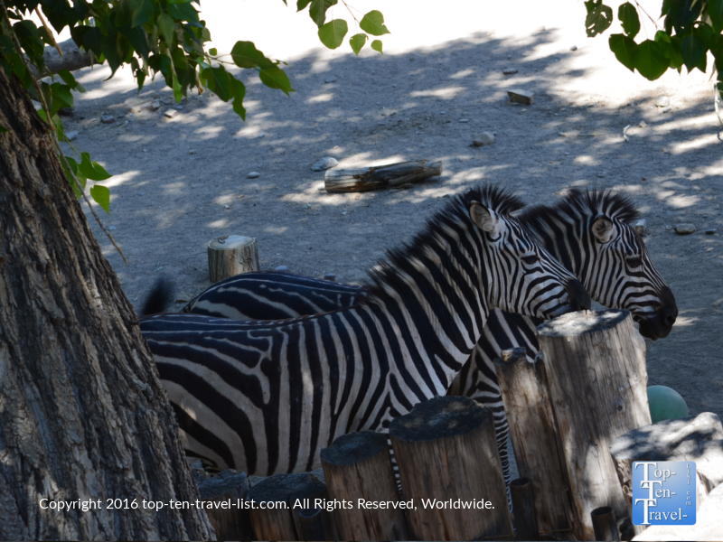 Group of zebras at the ABQ Zoo
