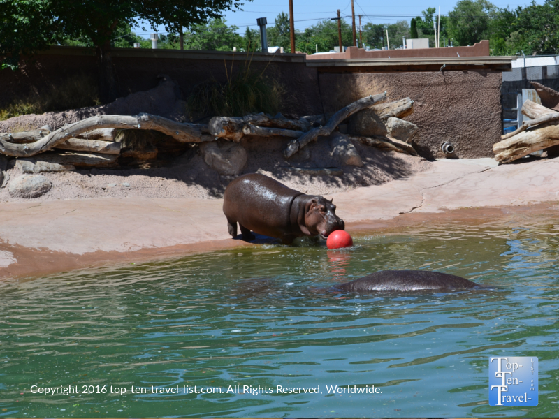 Hippo at the ABQ Zoo