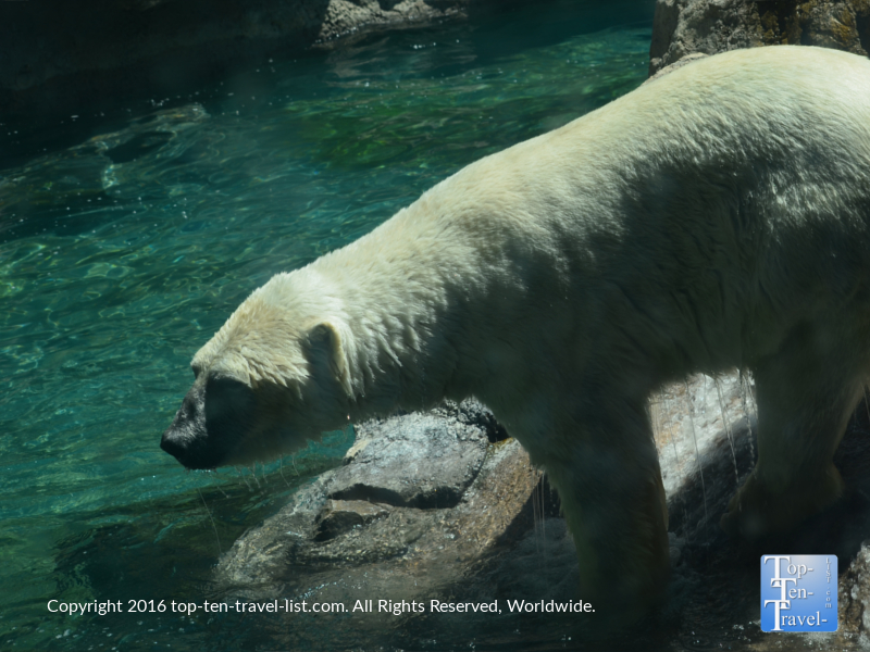 Polar bear getting ready to dive into the water at the ABQ Zoo