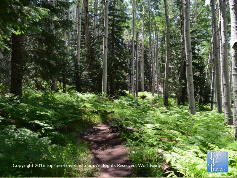 Pretty ferns and aspens lining the Kachina Trail in Flagstaff AZ