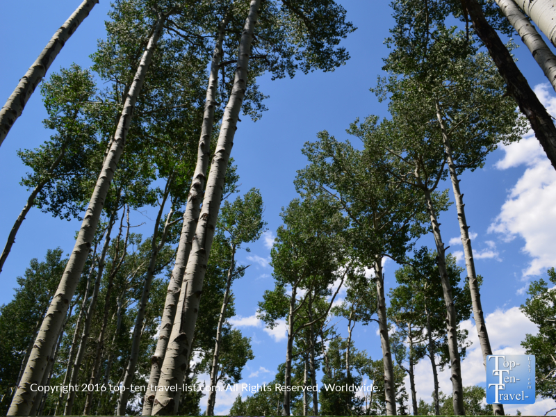 Tall aspens along the Kachina Trail in Flagstaff AZ