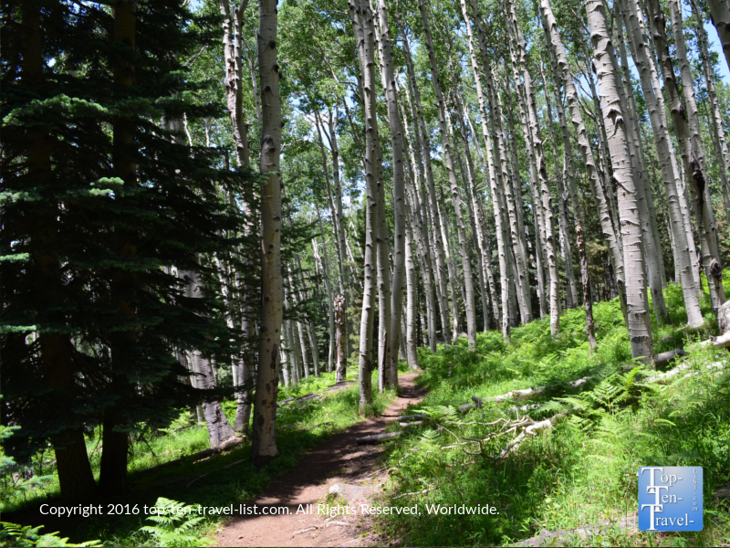 Tall forest of aspens on the Kachina Trail in Flagstaff AZ