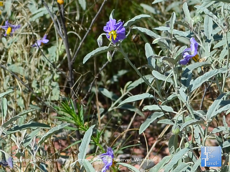 Pretty wildflowers at the start of the Jim Thompson trail in Sedona AZ