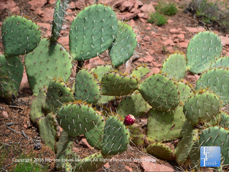 Prickly pear on the Jim Thompson trail in Sedona AZ