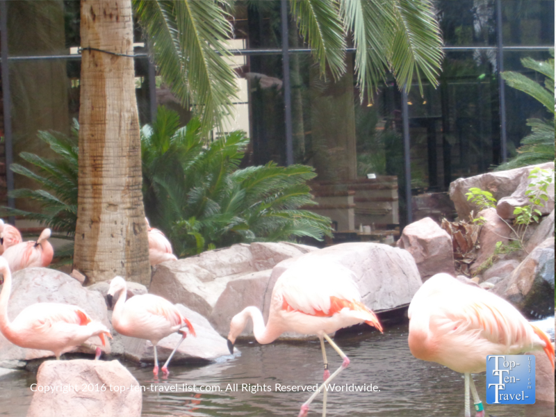 Beautiful flamingos at the Wildlife Habitat at the Flamingo Casino in Las Vegas, Nevada