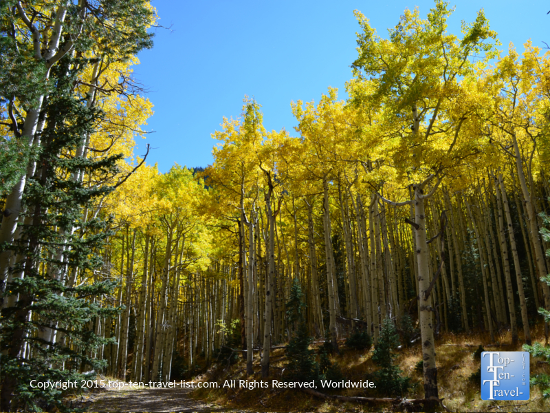 Gorgeous golden aspens on the Inner Basin hiking trail in Flagstaff, Arizona
