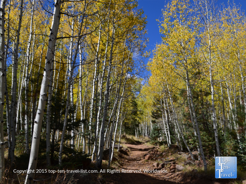 Colorful aspen trees lining the Weatherford Trail in Flagstaff, Arizona