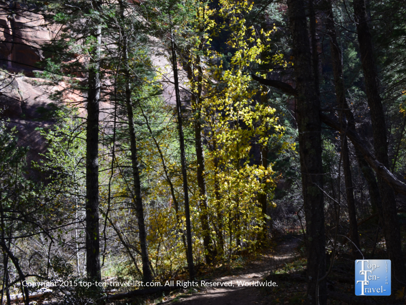 Yellow fall foliage along the West Fork hiking trail in Sedona, Arizona