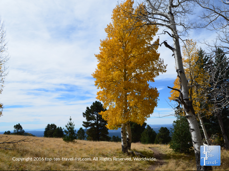A gorgeous gold aspen tree along the Aspen Nature Loop in Flagstaff, Arizona
