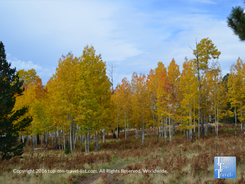 A grove of bright aspens along the Arizona Trail in Flagstaff, Arizona