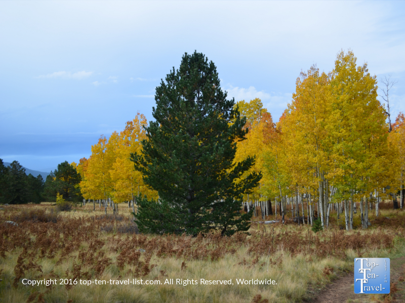 Beautiful pines and aspens along the Arizona Trail in Flagstaff, Arizona