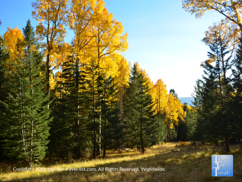 a-pretty-mix-of-pines-and-aspens-on-the-kachinatrail-in-flagstaff-in-the-fall