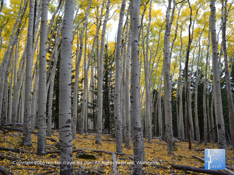 Golden aspen trees along the Bear Jaw trail in Flagstaff, Arizona