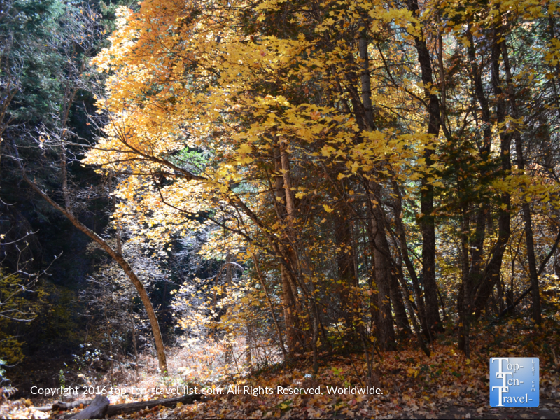 amazing-gold-foliage-on-the-west-fork-trail-in-oak-creek-canyon
