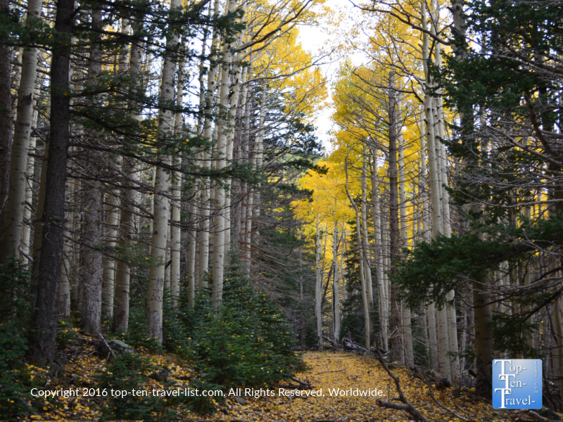 Beautiful aspens and pines along the Bear Jaw trail in Flagstaff, Arizona