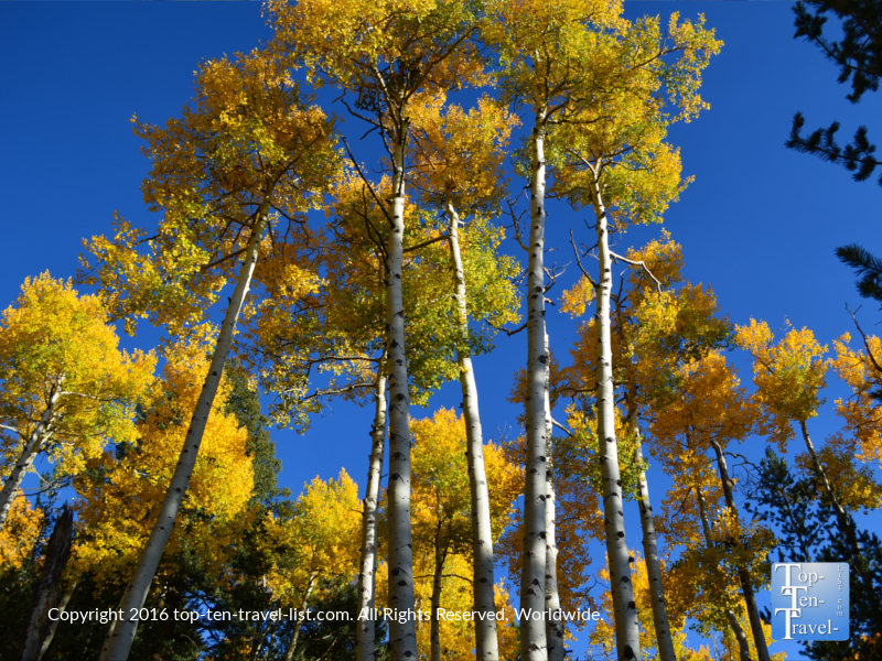 Blue skies and golden aspen trees along the Kachina Trail in Flagstaff, Arizona