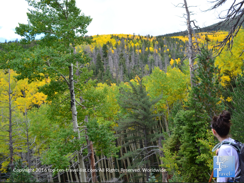 A mix of green and golden aspens covering the mountains near the end of the Bear Jaw trail in Flagstaff, AZ