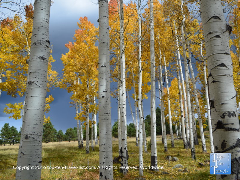 Beautiful fall aspens along the Arizona Trail in Flagstaff, Arizona
