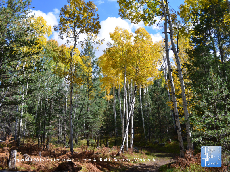 Golden aspens mixing in with the pines during the fall season at the Veit Springs Loop in Flagstaff, Arizona