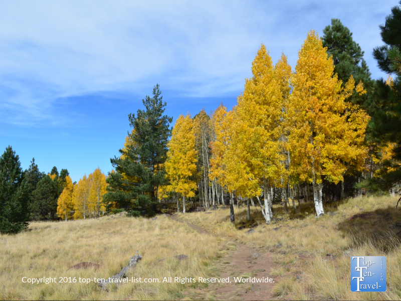 Gold fall colors and pines on the Aspen Nature Loop in Flagstaff, Arizona