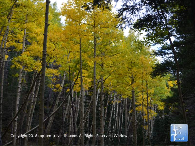 A row of bright gold aspens lining the Bear Jaw trail in Flagstaff, AZ