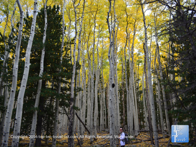 Standing in a grove of bright aspens on the Bear Jaw trail in Flagstaff, AZ