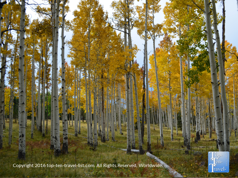 Gorgeous golden aspens lining the Arizona Trail in Flagstaff, Arizona