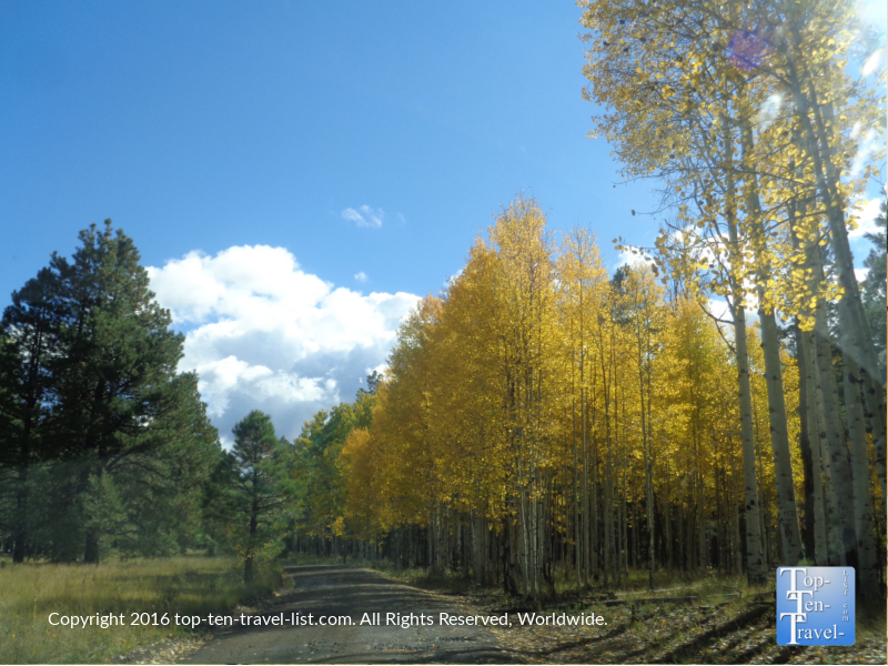 Amazing fall color on Hart Prairie Road in Flagstaff, AZ