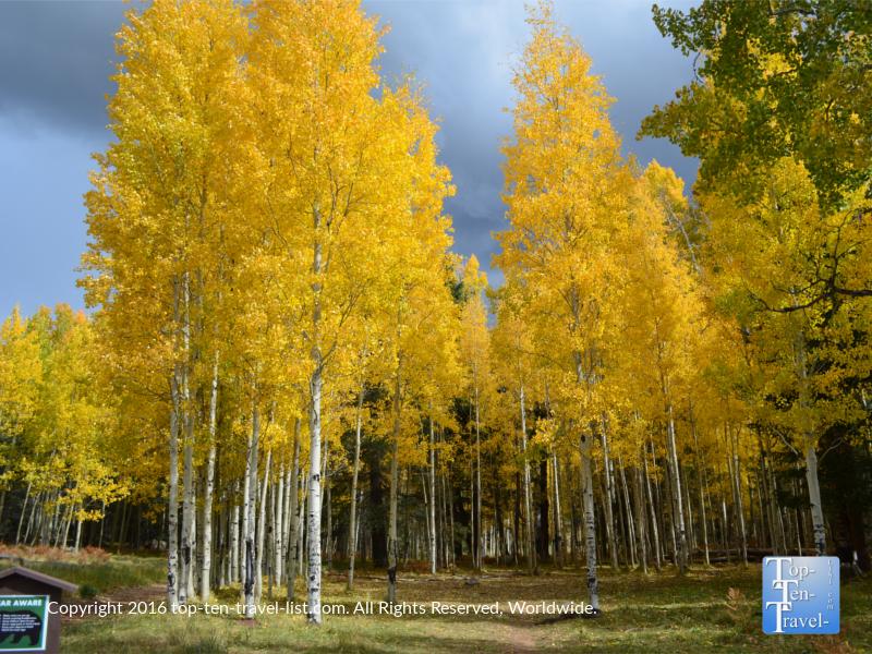 incredibly-bright-fall-foliage-at-aspen-corner-in-flagstaff