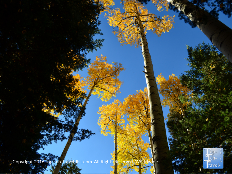 Looking up into the golden aspens on the Kachina Trail in Flagstaff, Arizona