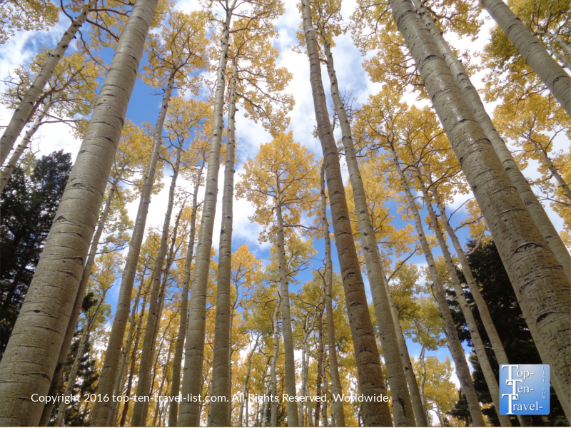 Blue skies and golden aspens along the Bear Jaw trail in Flagstaff, Arizona