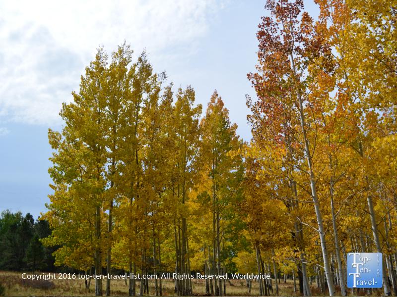 Magnificent fall foliage along The Arizona Trail in Flagstaff, Arizona