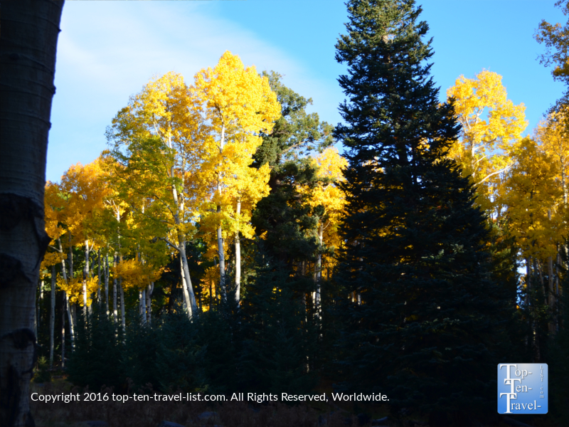 pines-and-fall-foliage-along-the-kachina-trail-in-flagstaff-az
