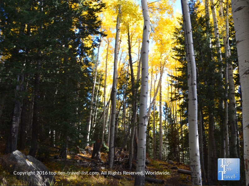 scattered-leaves-and-yellow-foliage-on-the-kachina-trail-in-flagstaff-az