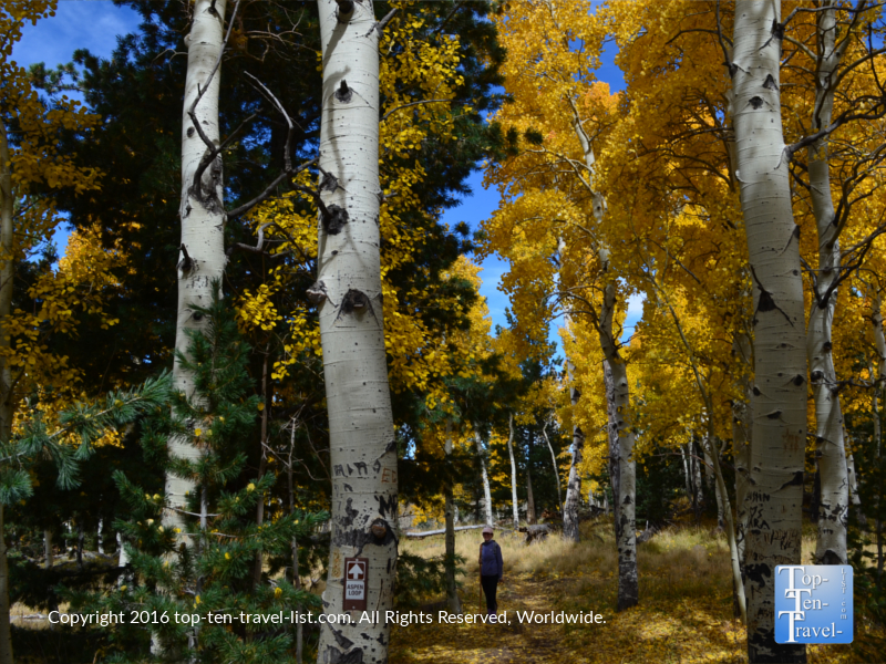 Standing amongst the towering golden aspens during the fall season in Flagstaff, Arizona