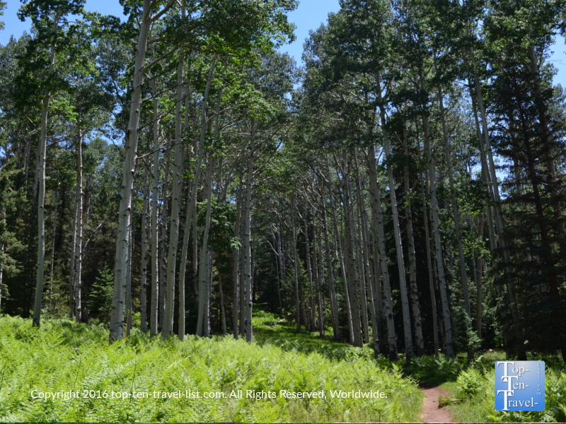 A summer walk along the beautiful pine and aspen lined Kachina Trail in Flagstaff, Arizona