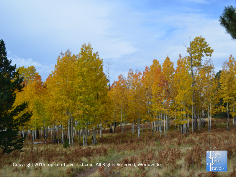Yellow fall foliage on the Arizona Trail in Flagstaff, Arizona