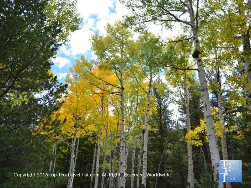 Beautiful golden aspens along the Bear Jaw Trail in Flagstaff, Arizona