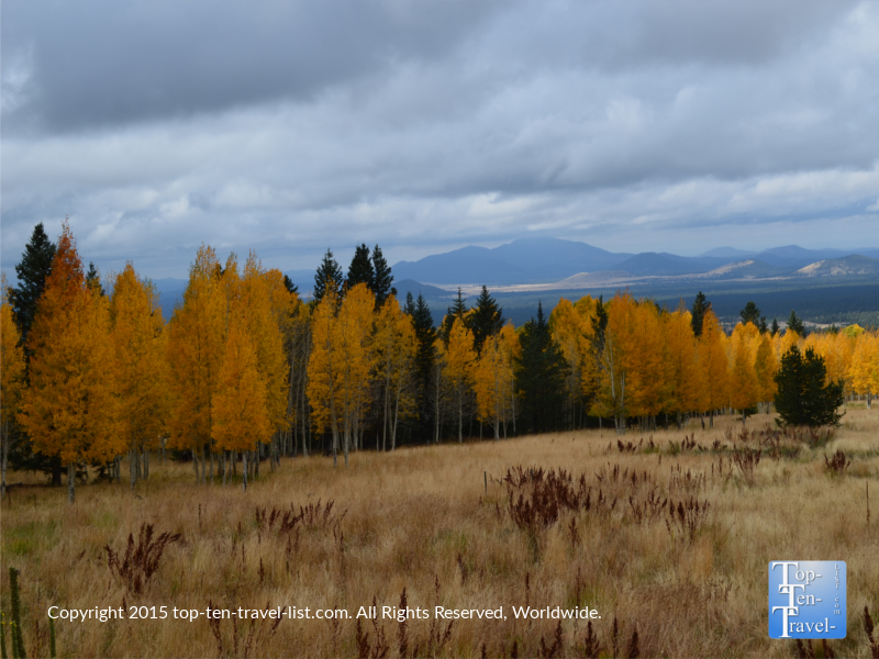Golden aspens and pine trees along the Aspen Nature Loop in Flagstaff, Arizona