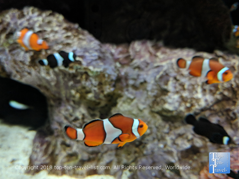 Clown fish tank at the Odysea Aquarium in Scottsdale, Arizona