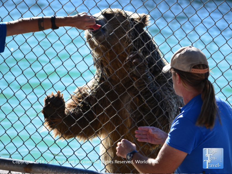 Trainer feeding a grizzly at Out of Africa Wildlife park