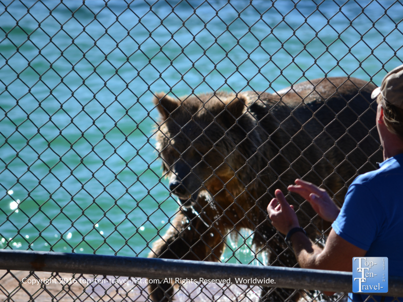 Trainer working with a grizzly at Out of Africa Wildlife Park
