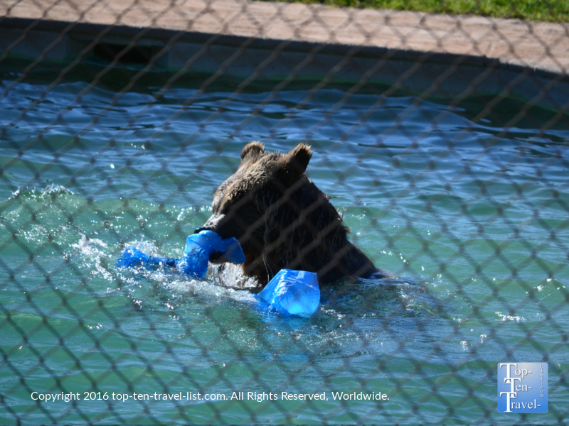 Grizzly playing in the water at Out of Africa Wildlife Park