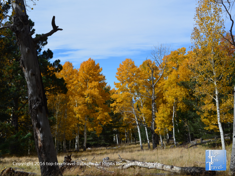 grove-of-golden-aspens-on-the-aspen-nature-loop-in-flagstaff-az