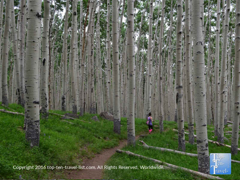hiking-amongst-the-tall-aspens-along-the-inner-basin-trail-in-flagstaff-az