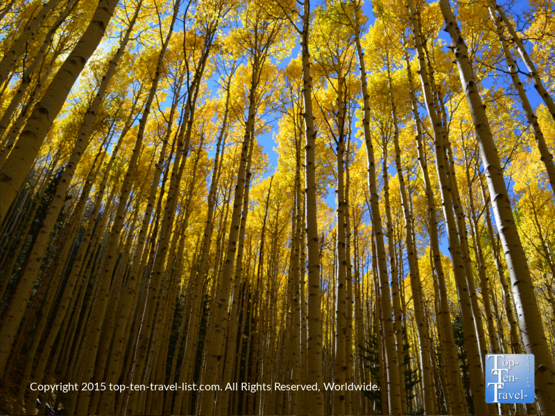 stunning-aspens-on-the-inner-basin-trail-in-flagstaff