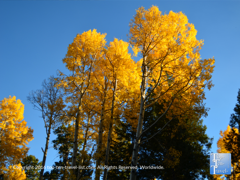 super-bright-golden-aspen-on-the-kachina-trail-in-flagstaff-az