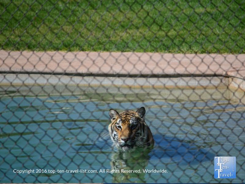 Tiger Splash show at the Out of Africa Wildlife Park in Camp Verde, Arizona