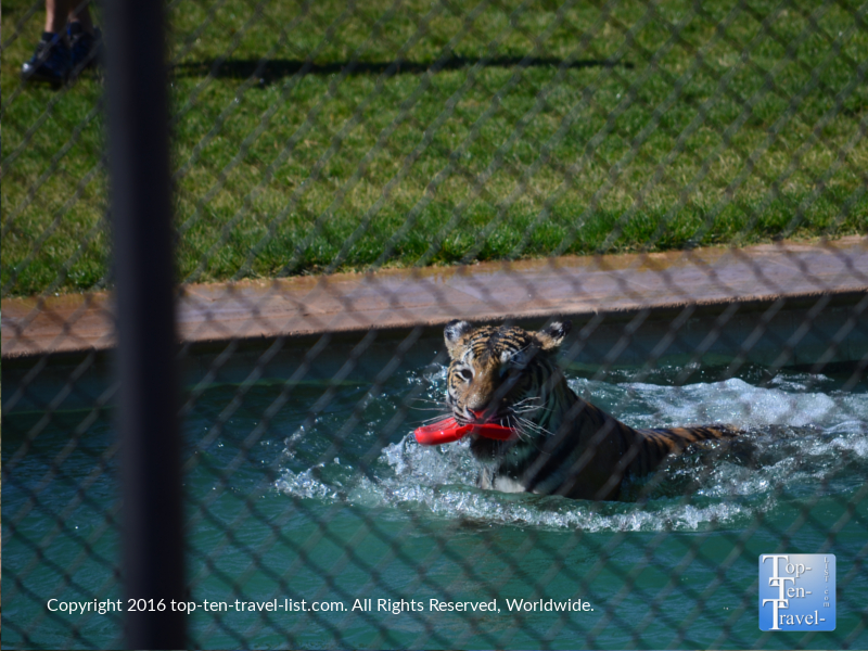 Tiger Splash show at Out of Africa Wildlife Park