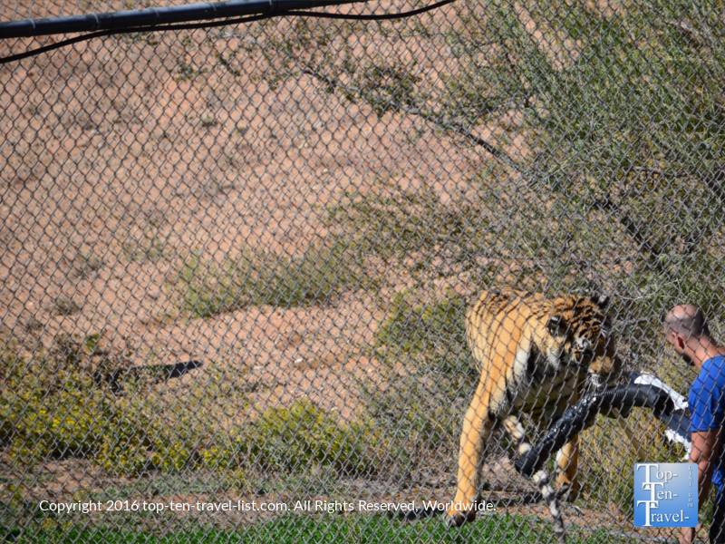 Tiger interacting with trainer at Out of Africa Wildlife Park
